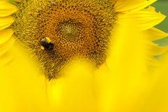 Girasoles Sting amarillo Imagen de archivo libre de regalías
