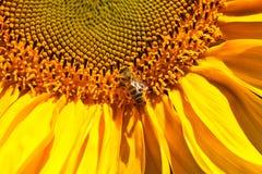 Girasoles y abeja Imagenes de archivo