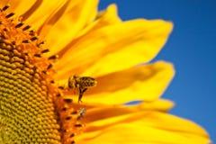 Girasoles y abeja Fotografía de archivo libre de regalías
