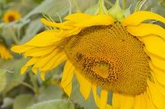 Girasoles y abeja Imagen de archivo