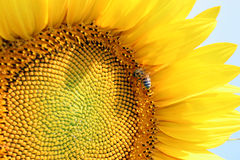 Girasoles y abeja Fotos de archivo