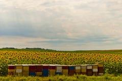 Girasoles y abejas Fotos de archivo libres de regalías