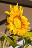 Girasoles y abejas de trabajo Fotografía de archivo libre de regalías