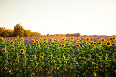 Girasoles y campos de la lavanda en la puesta del sol imagen de archivo