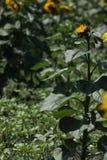 Girasoles y hojas del verde, de plena pantalla Fotografía de archivo libre de regalías