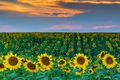 Girasoles y puesta del sol de Colorado fotografía de archivo libre de regalías