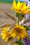 Girasoles y ramo del trigo Fotos de archivo libres de regalías