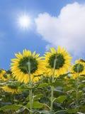 Girasoles y sol en el cielo Fotos de archivo libres de regalías