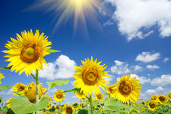 Girasoles y sol finos de la diversión en el cielo. Imagen de archivo