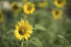 Girasoles y una abeja en el jardín Imágenes de archivo libres de regalías