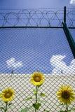 Girasoli Fotografie Stock