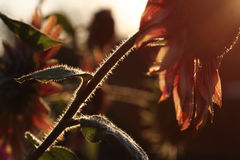 Girasoli Fotografia Stock