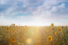 Girasoli al sole Fotografie Stock Libere da Diritti