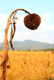 Girasoli appassiti Fotografia Stock Libera da Diritti