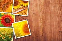 Girasoli che coltivano e collage della foto di agricoltura Fotografia Stock