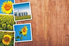 Girasoli che coltivano e collage della foto di agricoltura Fotografia Stock Libera da Diritti