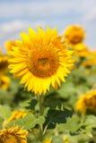 Girasoli che fioriscono contro un cielo luminoso, Immagini Stock Libere da Diritti