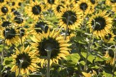 Girasoli che fioriscono nel campo con la luce di primo mattino Fotografie Stock Libere da Diritti