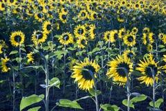 Girasoli che fioriscono nel campo in sole di primo mattino Fotografie Stock Libere da Diritti