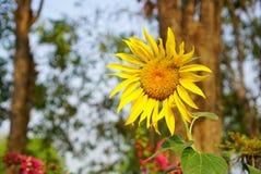 Girasoli che fioriscono sui precedenti vaghi Fotografia Stock