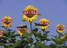 Girasoli che portano gli occhiali da sole Fotografie Stock