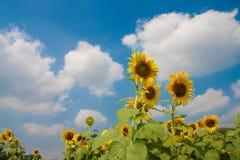 Girasoli con cielo blu Fotografie Stock Libere da Diritti