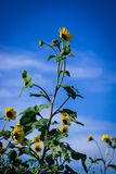 Girasoli con il cielo blu di estate Fotografia Stock Libera da Diritti