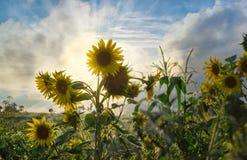Girasoli contro il cielo al tramonto immagine stock libera da diritti