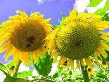 Girasoli contro il cielo blu, i fiori del Sun fotografia stock