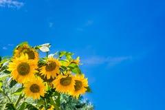 Girasoli contro un chiaro cielo blu fotografia stock