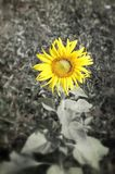 Girasoli di fioritura immagine stock