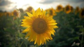 Girasoli di fioritura su un tramonto del fondo Girasoli nel campo che ondeggia nel vento Primo piano Bei campi video d archivio