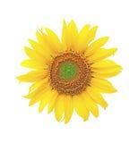 Girasoli di fioritura su una priorità bassa bianca Fotografie Stock Libere da Diritti