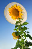 Girasoli divertenti con cielo blu ed il cappello Fotografie Stock Libere da Diritti