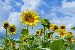 Girasoli e cielo blu gialli Fotografia Stock Libera da Diritti