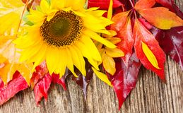 Girasoli e foglie di caduta Fotografia Stock Libera da Diritti