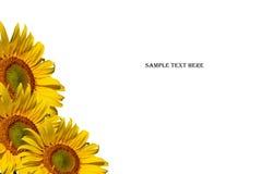 Girasoli e testo del campione su fondo bianco Fotografia Stock