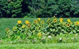 Girasoli e wildflowers Fotografia Stock