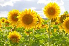 Girasoli gialli di estate Immagini Stock Libere da Diritti