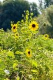 Girasoli gialli selvaggi in erba verde Immagine Stock