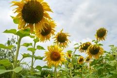 Girasoli gialli sui precedenti del cielo di estate immagine stock