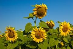 Girasoli gialli sul campo contro il giacimento maturo del girasole dei fiori del cielo blu, estate, sole immagine stock