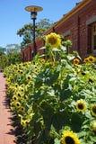 Girasoli gialli in un campo di estate Fotografie Stock