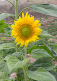 Girasoli, girasoli che fioriscono contro un cielo luminoso, girasoli, girasoli che fioriscono, bei girasoli, girasoli, Th non vis Fotografia Stock Libera da Diritti
