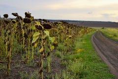 Girasoli maturi sul campo lungo una strada rurale Fotografie Stock Libere da Diritti