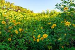 Girasoli messicani su Tung Bua Tong nel Nord della Tailandia fotografie stock