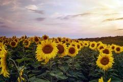 Girasoli nei campi durante il tramonto Fotografia Stock Libera da Diritti