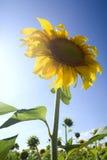 Girasoli nell'ambito della luce solare immagine stock