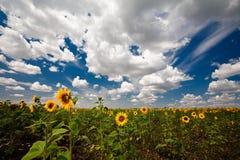 Girasoli, nubi e cielo blu Fotografia Stock