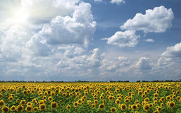 girasoli nuvolosi del campo della priorità bassa Fotografia Stock